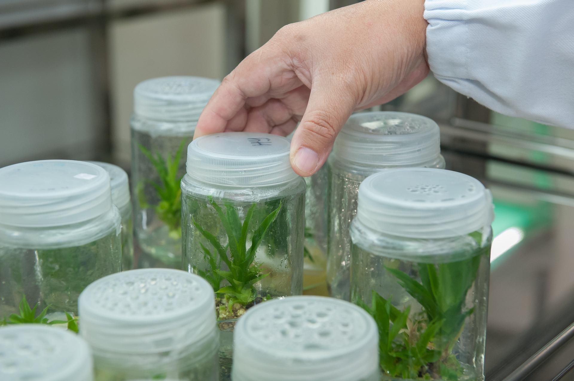 plant tissue culture